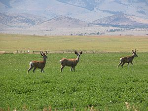 Paradise Valley (Montana) - Image: Paradise Valley Mule Deer