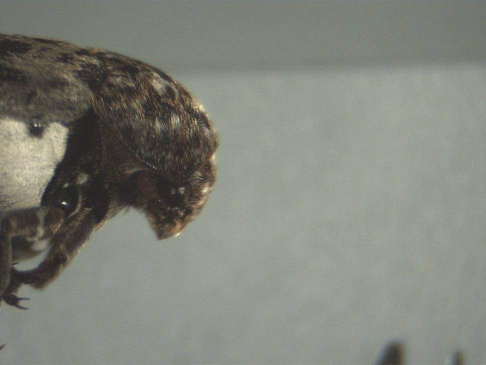 Dermestidae 2