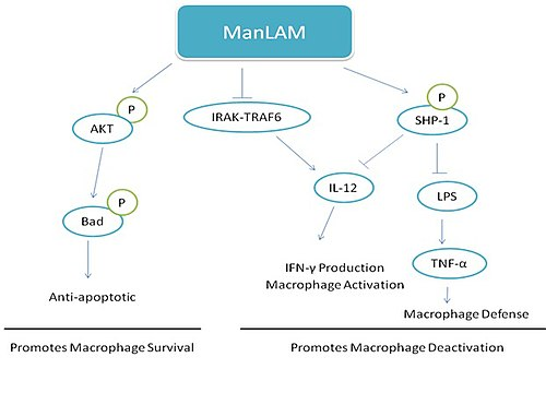 Proposed mechanisms of ManLAM functions