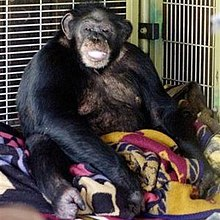 Travis (chimpanzee) - Wikipedia