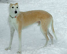 Greyhound Dog Breeding Videos