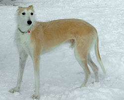 This Lurcher is a mix of Greyhound, Deerhound, and Collie.