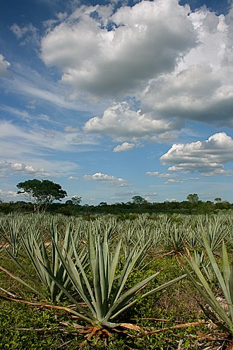 Agave fourcroydes - Image: Henequen