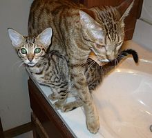 Tawny ocicat kitten with cinnamon ocicat mother.jpg