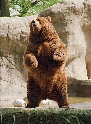 Brown bear rearing2