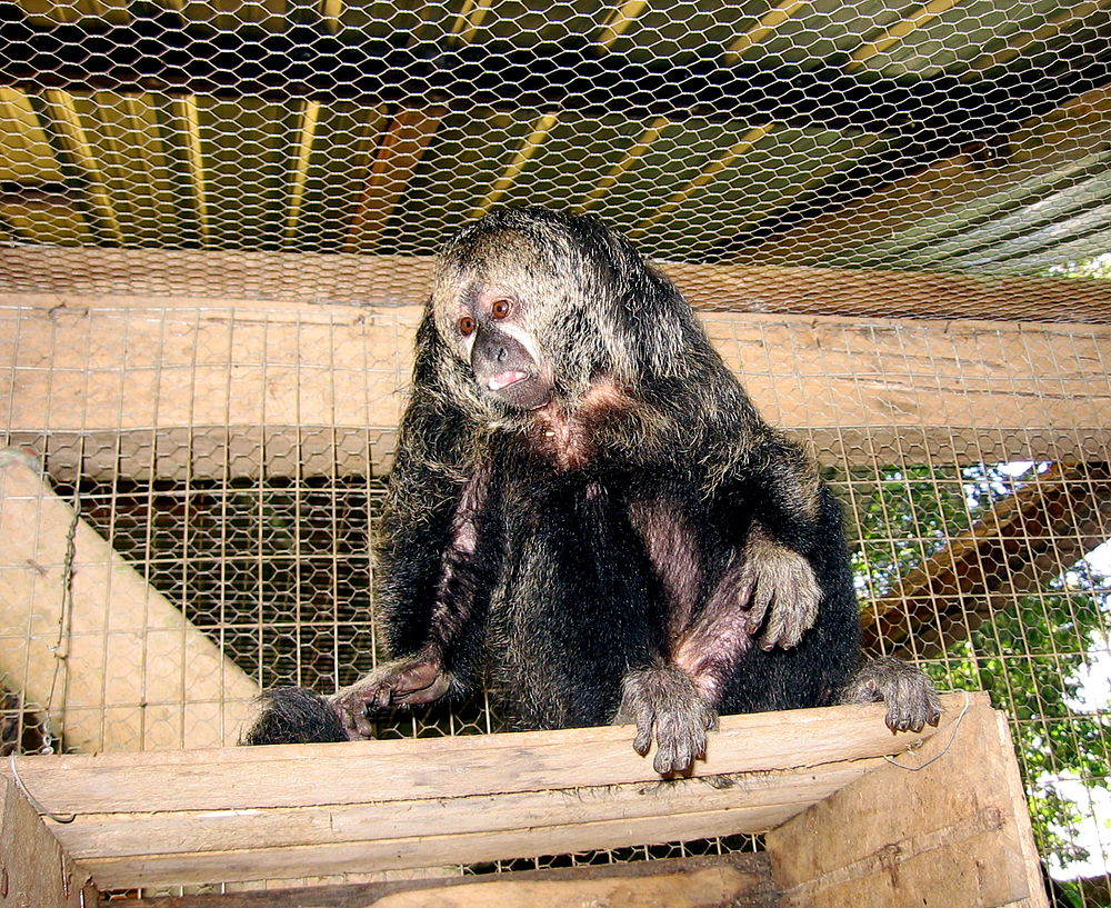 The average litter size of a Monk saki is 1