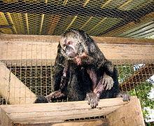 Monkey - Wikimedia Commons