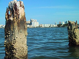 Eighty-year-old sea wall pilings from the failed Isola di Lolando construction project in Miami Beach, Florida.