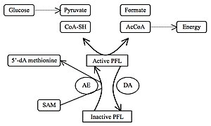 Formate C-acetyltransferase - PFL as regulator of anaerobic glucose metabolism
