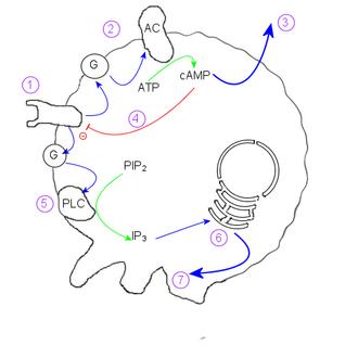 Dictyostelid - Diagram showing how a Dictyostelium discoideum amoeba responds to cAMP