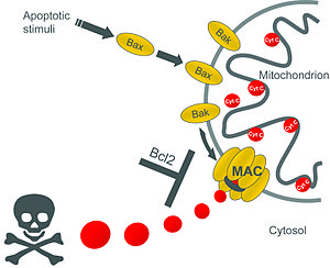 Mitochondrial apoptosis-induced channel - Image: Mac Model