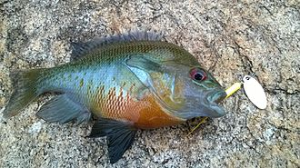 Redbreast sunfish - Redbreast Sunfish Caught on 1/8oz Rooster Tail in Georgia