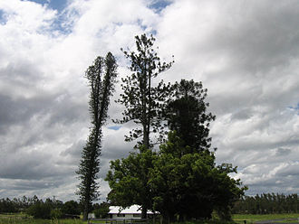 Araucaria - Three members of the genus growing together – left to right, Araucaria columnaris, Araucaria cunninghamii and Araucaria bidwillii