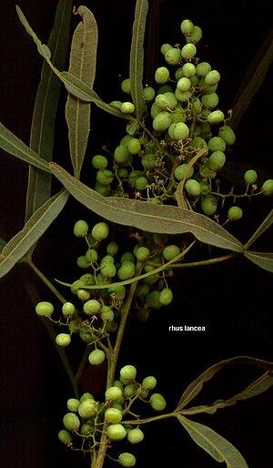 Sumac - Rhus lancea fruit