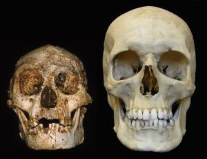 Post-canine megadontia - Skull of a Homo floresiensis next to a modern human skull