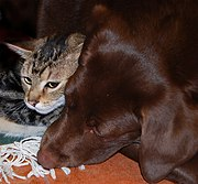 This sociable lab pup has become acquainted with a kitten.