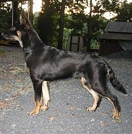 German Shepherd Import Dogs For Sale Von Mullenbruch Kennel