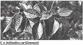 <i>Ulmus</i> × <i>hollandica</i> Klemmer Elm cultivar