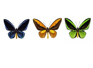300px Ornithoptera colours Species: How Many Bats did Noah Need on the Ark?
