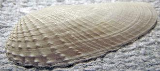Petricolidae - One valve of the false angelwing, Petricolaria pholadiformis