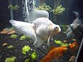 A white telescope goldfish in an aquarium along with the telescope goldfish.jpg