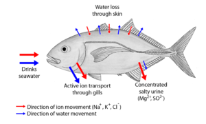 Osmoregulation - Movement of water and ions in saltwater fish