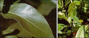Persea - Persea borbonia foliage and fruit