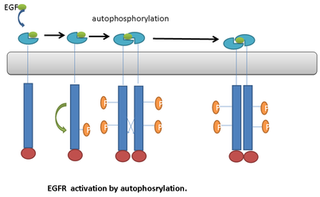 Autophosphorylation The phosphorylation by a protein of one or more of its own amino acid residues (cis-autophosphorylation), or residues on an identical protein (trans-autophosphorylation).