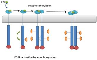 Autophosphorylation - Image: Activation of EGFR by autophosphorylation