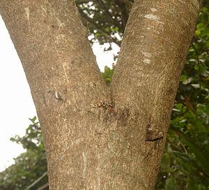 Streblus asper - Khoi bark