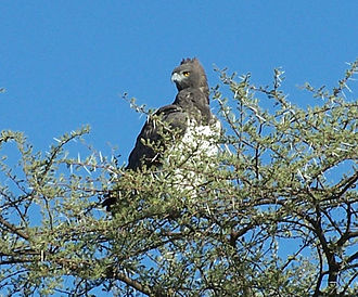 Eagle - Martial eagle in Namibia.