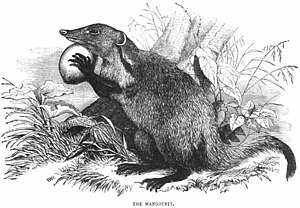 Mongoose, or Mangouste as depicted in the 1851...
