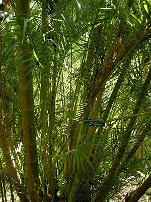 Dypsis lutescens - Image: Chrysalidocarpus lutescens (Dypsis lutescens)