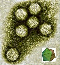 Electron micrograph of icosahedral virions