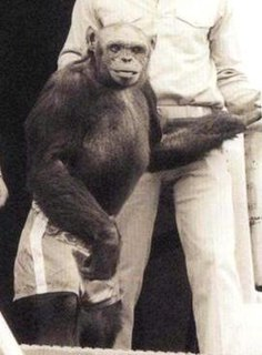 Travis (chimpanzee) - WikiVividly