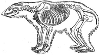 Polar bear - Polar bear skeleton