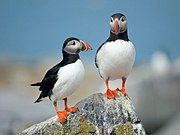 Atlantic Puffin (Fratercula arctica). Seabirds were the mainstay of the St Kildan diet.