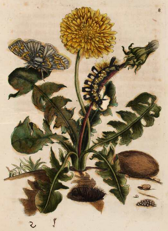 Plate 8 of Caterpillars, first volume. Depicting a dandelion Taraxacum, with Dicallomera fascelina, the dark tussock moth. The Dutch common name for the moth Meriansborstel is named for Merian. Danedlion Maria Sibylla Merian.png