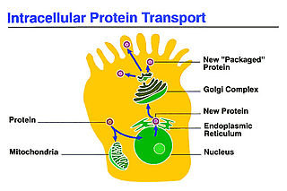 Intracellular transport Directed movement of vesicles and substances within a cell
