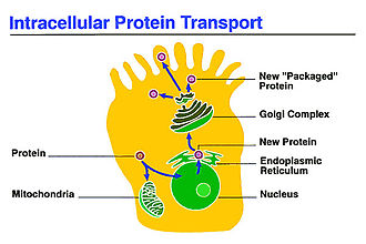 Intracellular transport - Intracellular transport between the Golgi and Endoplasmic Reticulum