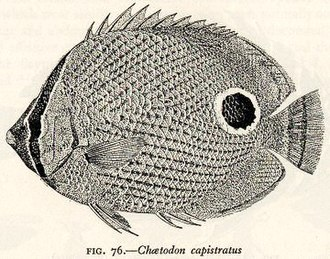 Adaptive Coloration in Animals - Cott's art in the service of zoology: the four-eye butterfly fish, Chaetodon capistratus, showing two adaptations at once: concealment of the eye, and distraction with an eyespot. Fig. 76 from Adaptive Coloration in Animals