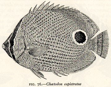 Cott Adaptive Coloration Fig 76 Chaetodon capistratus concealed eye, eyespot