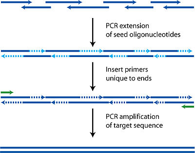 Polymerase cycling assembly wikipedia for How much template dna for pcr