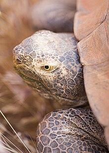 Desert tortoise tds.jpg