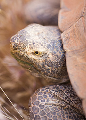 Saddle-backed Rodrigues giant tortoise