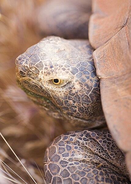 File:Desert tortoise tds.jpg