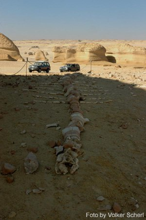 Wadi El Hitan - Whale skeleton in Wadi El Hitan
