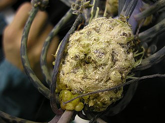 Gall - A detail photo of a crown gall on a Kalanchoe infected with Agrobacterium tumefaciens.