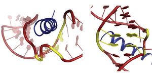 HIV Rev response element - Rev-ARM/IIB structure. (Left) Stem IIB RNA(red) A-‐form major groove cradling the Rev-‐ARM α-‐helix (blue). The Rev-ARM is a short peptide that represents the RNA binding domain of Rev. (Right) A rotated view showing the purine-‐purine base pairs (yellow) that widen the RNA major groove.