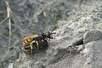 Beewolf - Image: Bee wolf